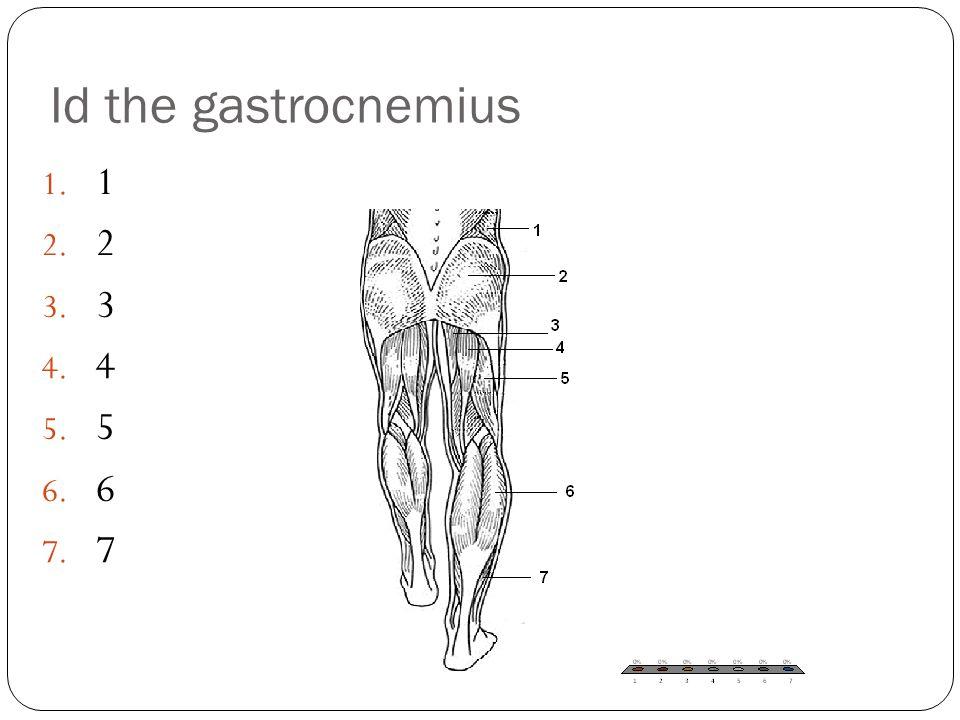 Id the gastrocnemius 1 2 3 4 5 6 7