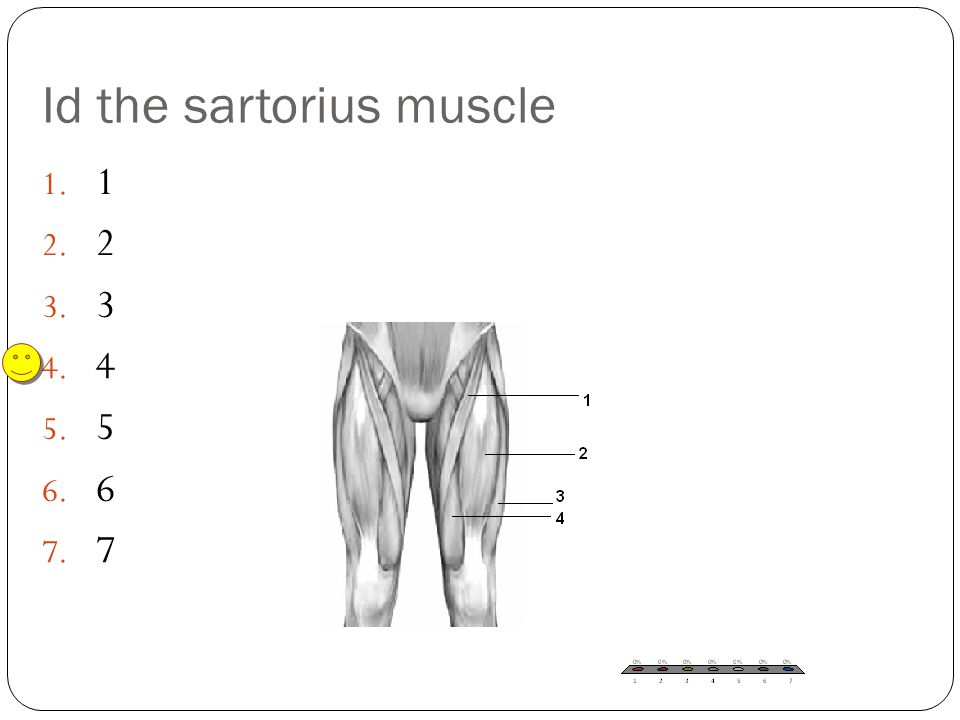 Id the sartorius muscle