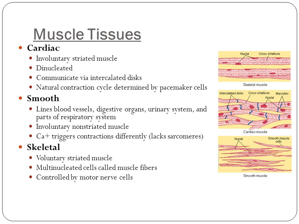 Muscle Tissues Cardiac Smooth Skeletal Involuntary striated muscle