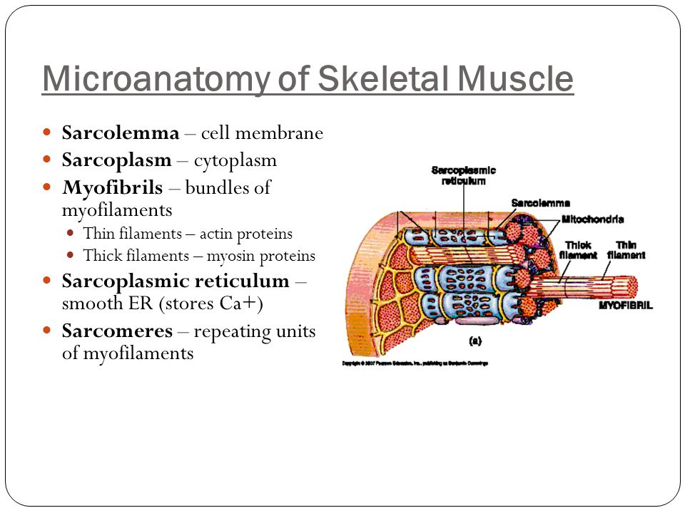 Microanatomy of Skeletal Muscle