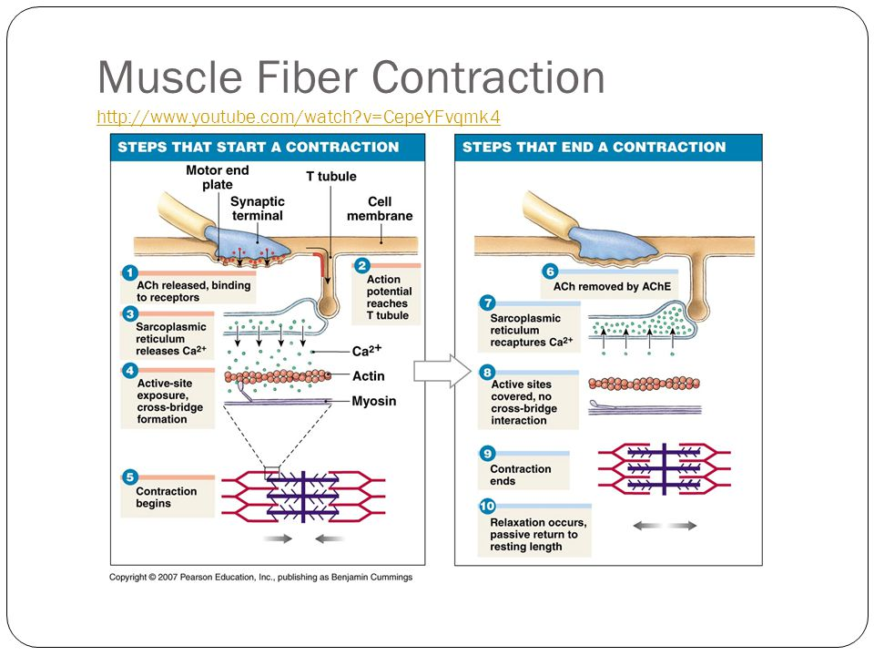 Muscle Fiber Contraction http://www.youtube.com/watch v=CepeYFvqmk4