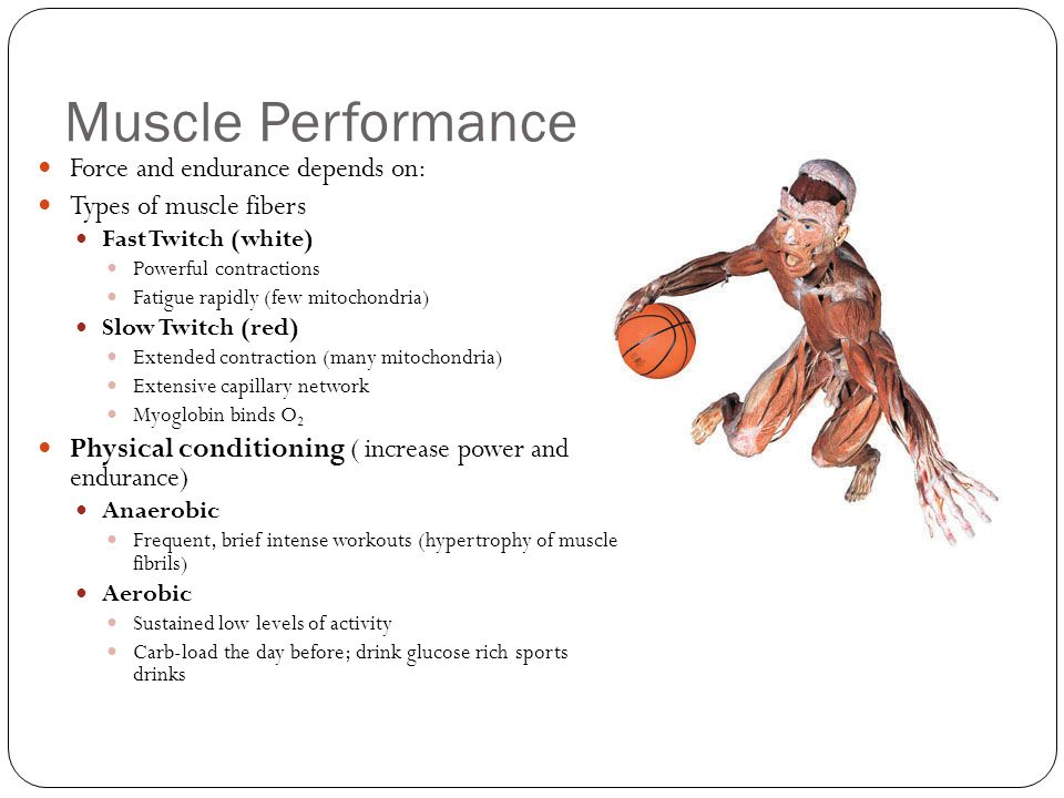 Muscle Performance Force and endurance depends on: