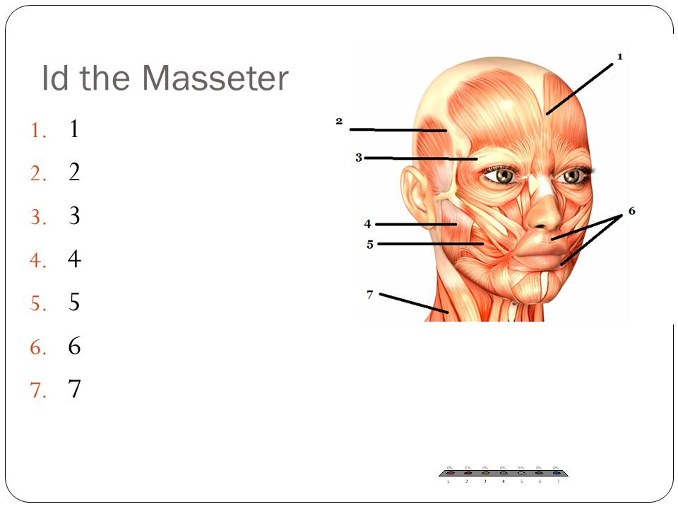 Id the Masseter 1 2 3 4 5 6 7