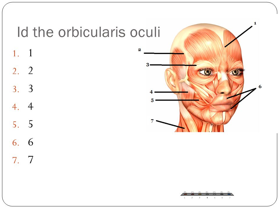 Id the orbicularis oculi