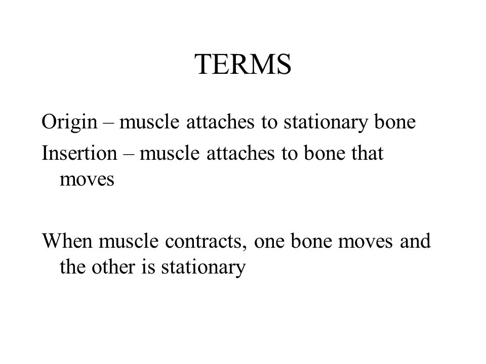 TERMS Origin – muscle attaches to stationary bone
