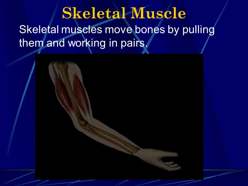 Skeletal Muscle Skeletal muscles move bones by pulling them and working in pairs.