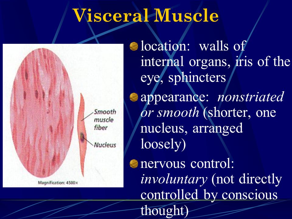 Visceral Muscle location: walls of internal organs, iris of the eye, sphincters.