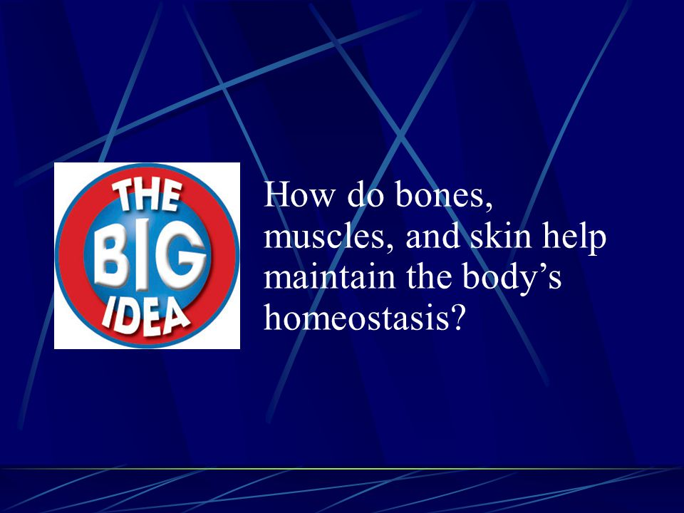 How do bones, muscles, and skin help maintain the body's homeostasis