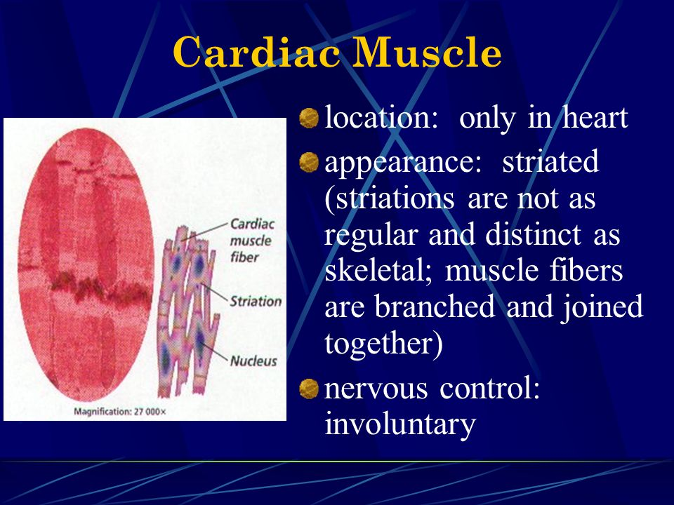 Cardiac Muscle location: only in heart
