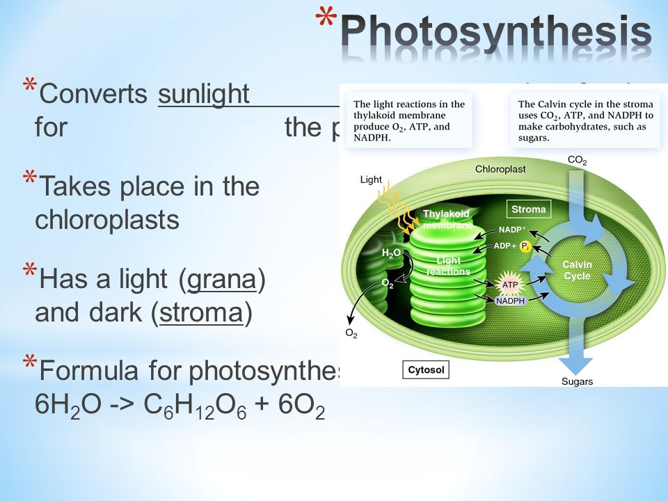 Photosynthesis Converts sunlight energy into food for the plant.