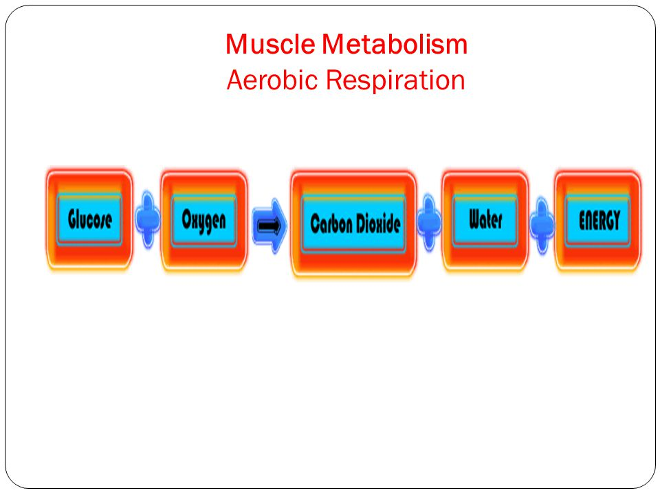 Muscle Metabolism Aerobic Respiration