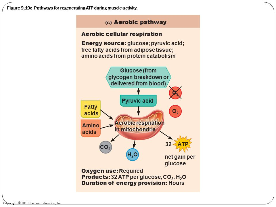 Figure 9.19c Pathways for regenerating ATP during muscle activity.