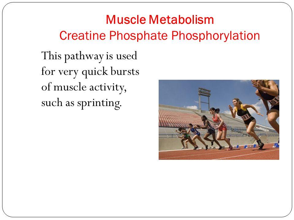 Muscle Metabolism Creatine Phosphate Phosphorylation