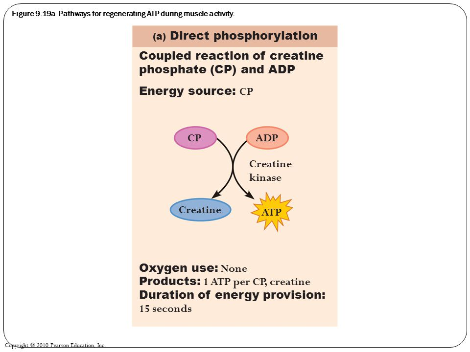 Figure 9.19a Pathways for regenerating ATP during muscle activity.