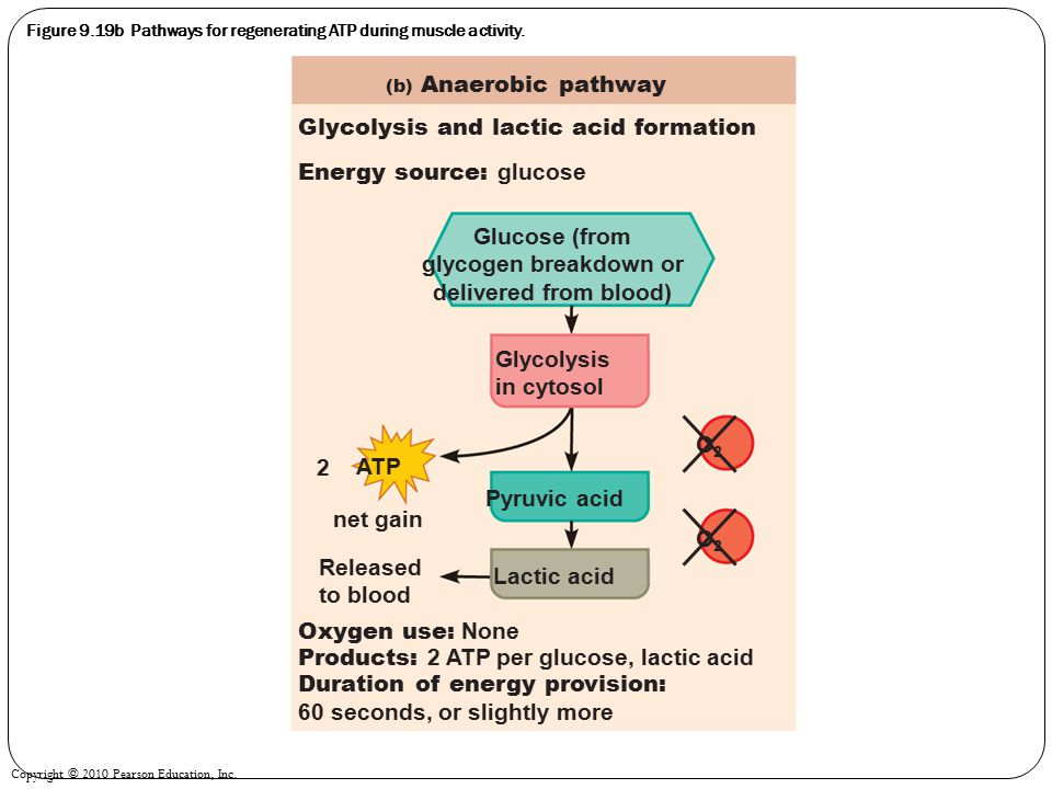 Figure 9.19b Pathways for regenerating ATP during muscle activity.