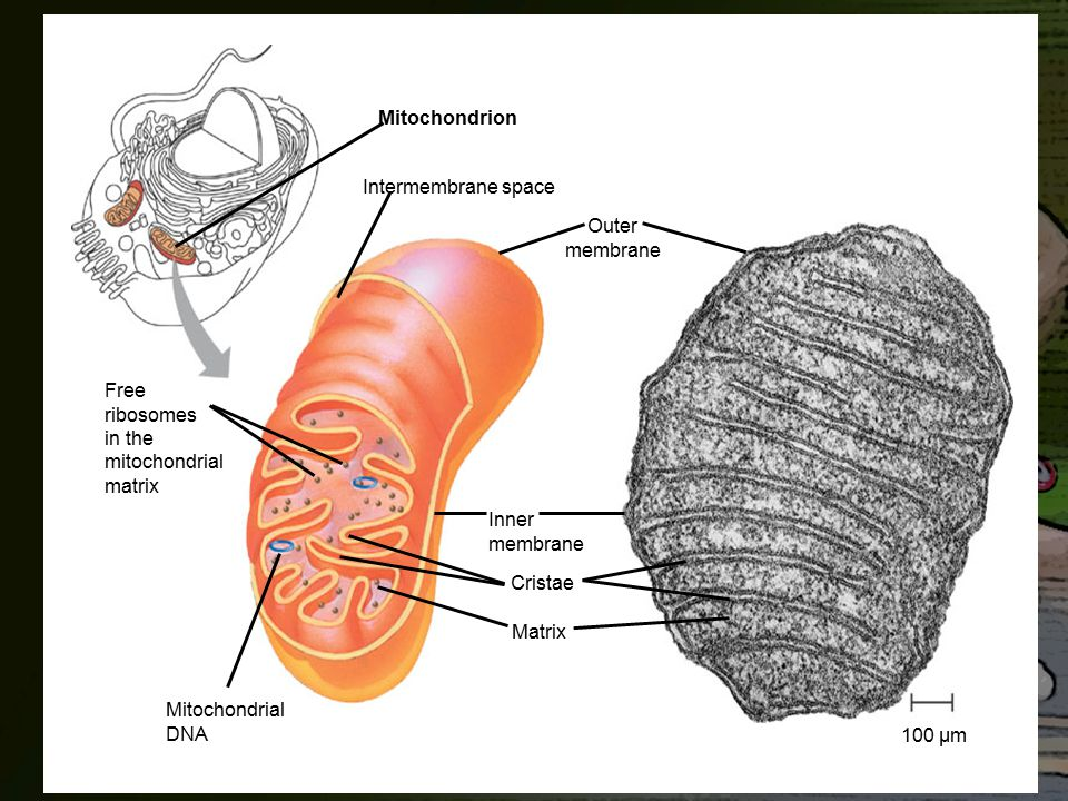 Mitochondrion Intermembrane space. Outer. membrane. Free. ribosomes. in the. mitochondrial. matrix.