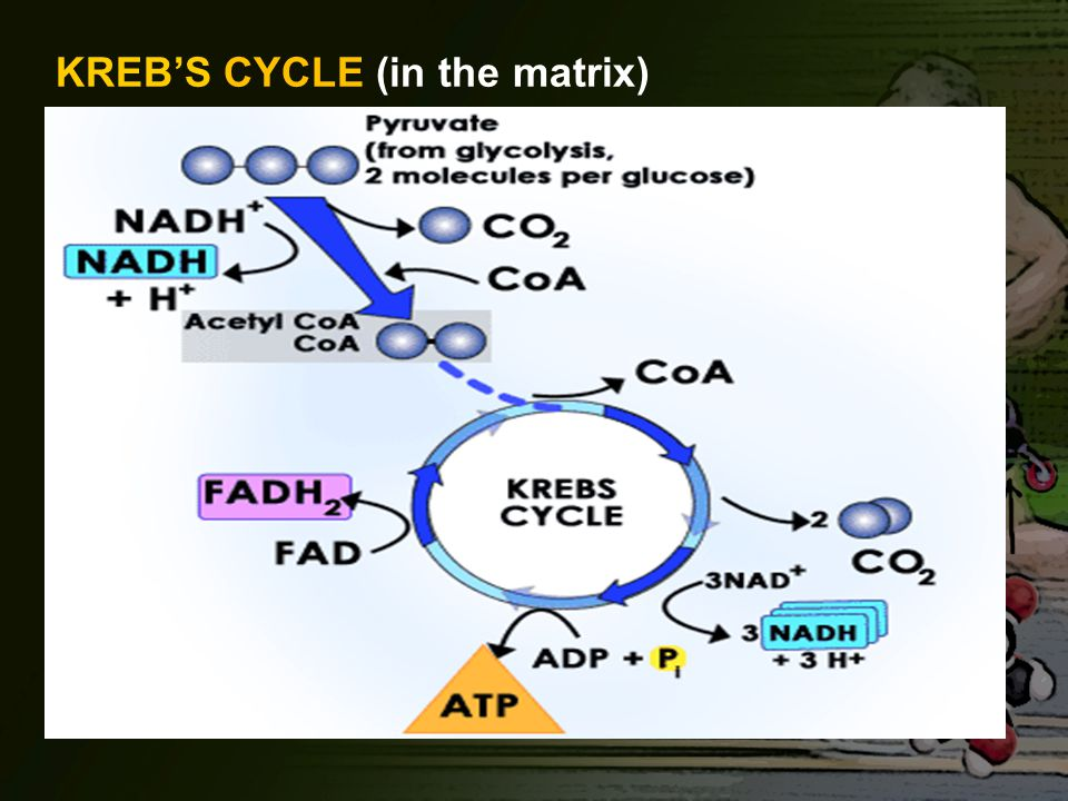 KREB'S CYCLE (in the matrix)