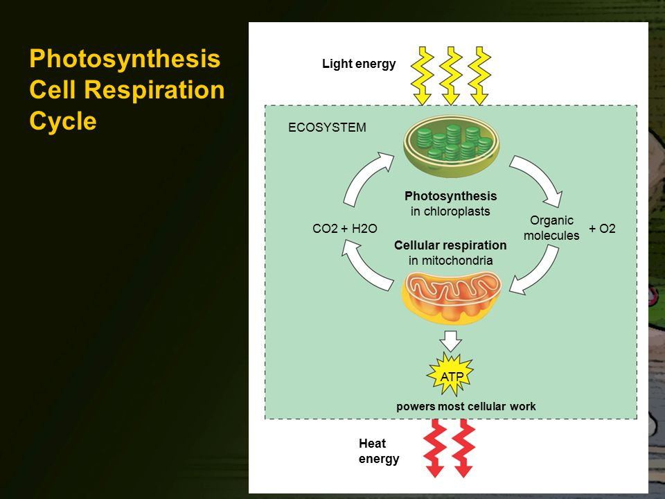 Photosynthesis Cell Respiration Cycle