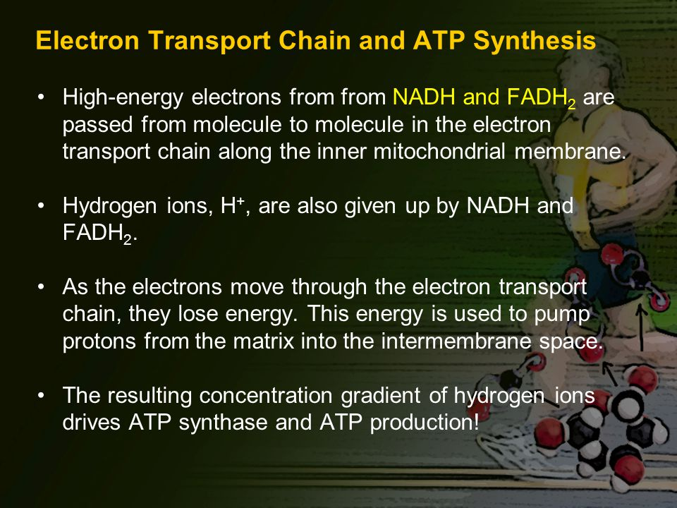 Electron Transport Chain and ATP Synthesis