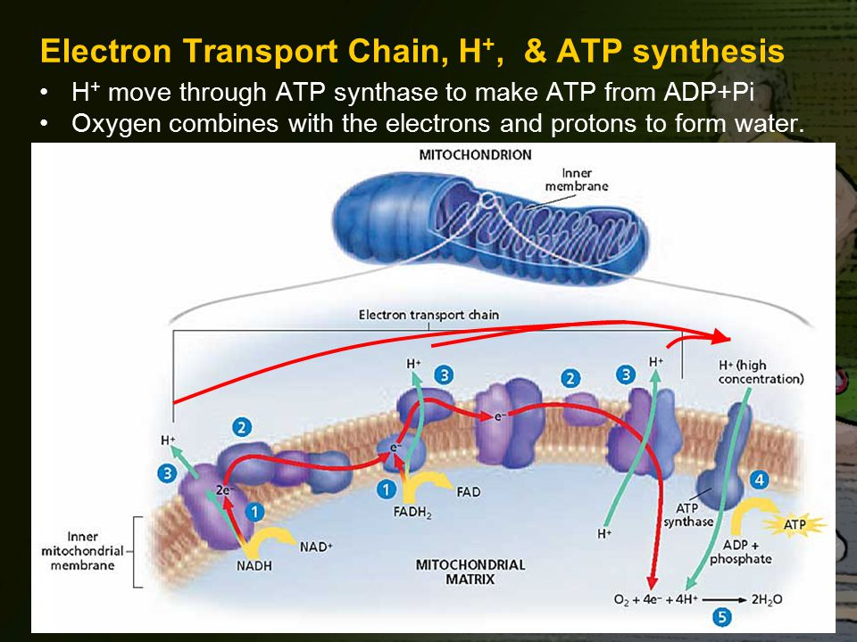 Electron Transport Chain, H+, & ATP synthesis
