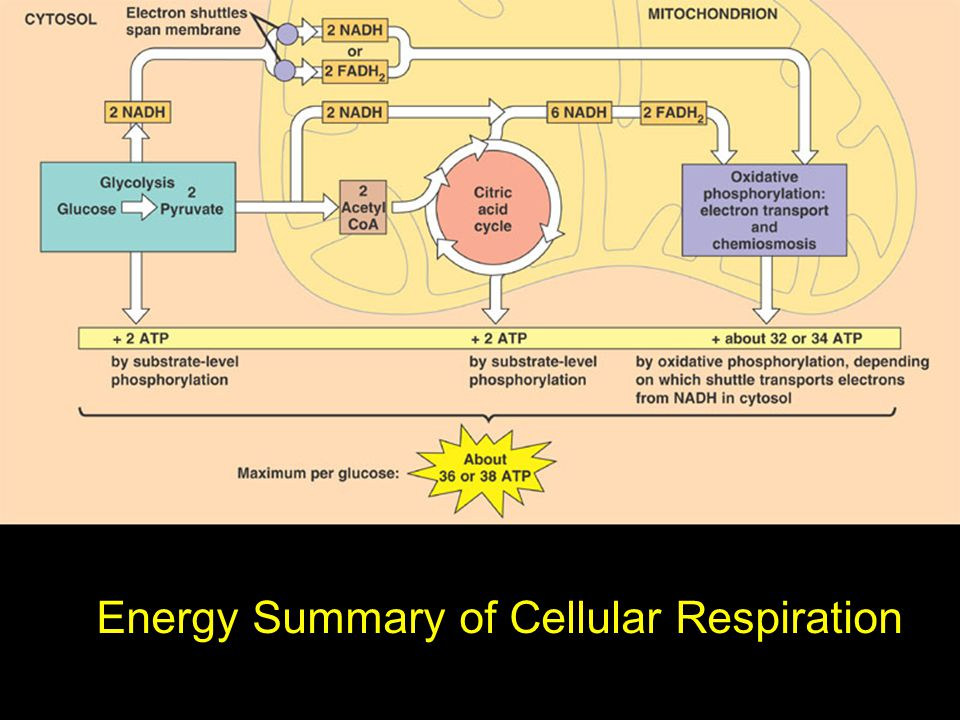 Energy Summary of Cellular Respiration