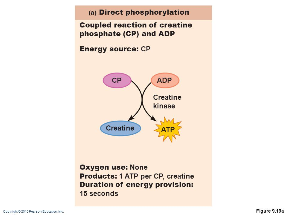 Coupled reaction of creatine phosphate (CP) and ADP