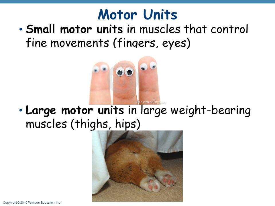 Motor Units Small motor units in muscles that control fine movements (fingers, eyes)