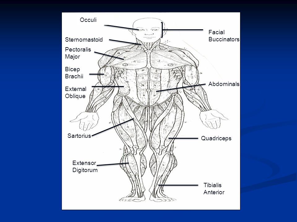Occuli Facial Buccinators. Sternomastoid. Pectoralis Major. Bicep Brachii. Abdominals. External Oblique.