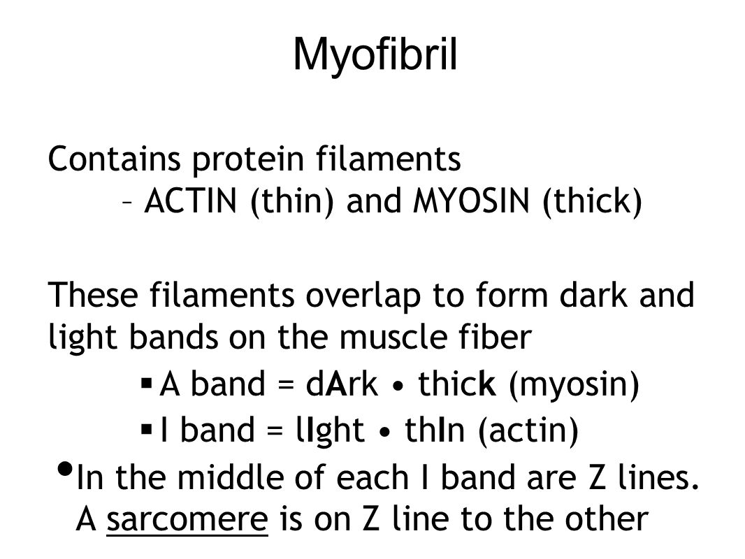 Myofibril Contains protein filaments – ACTIN (thin) and MYOSIN (thick)