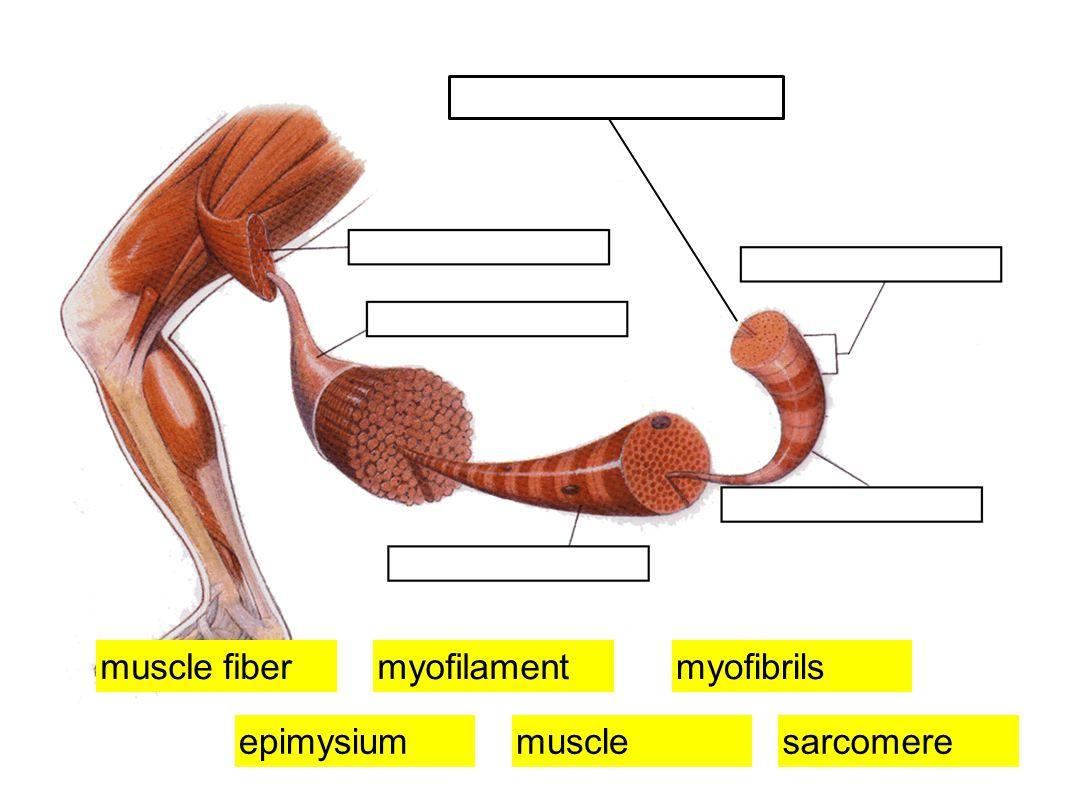 muscle fiber myofilament myofibrils epimysium muscle sarcomere