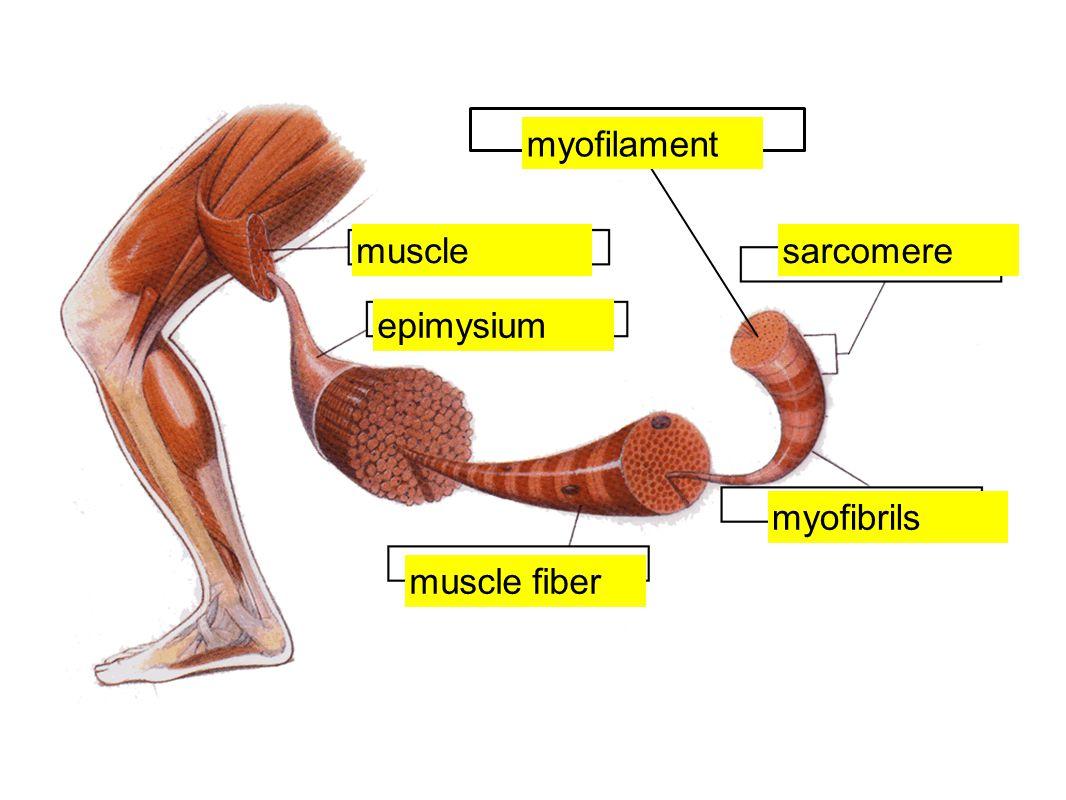 myofilament muscle sarcomere epimysium myofibrils muscle fiber