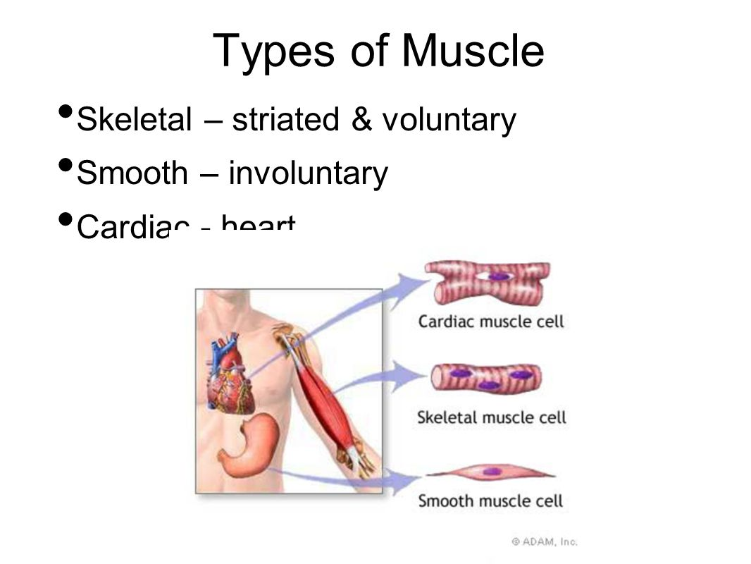 smooth muscle facts – brownshelter, Muscles