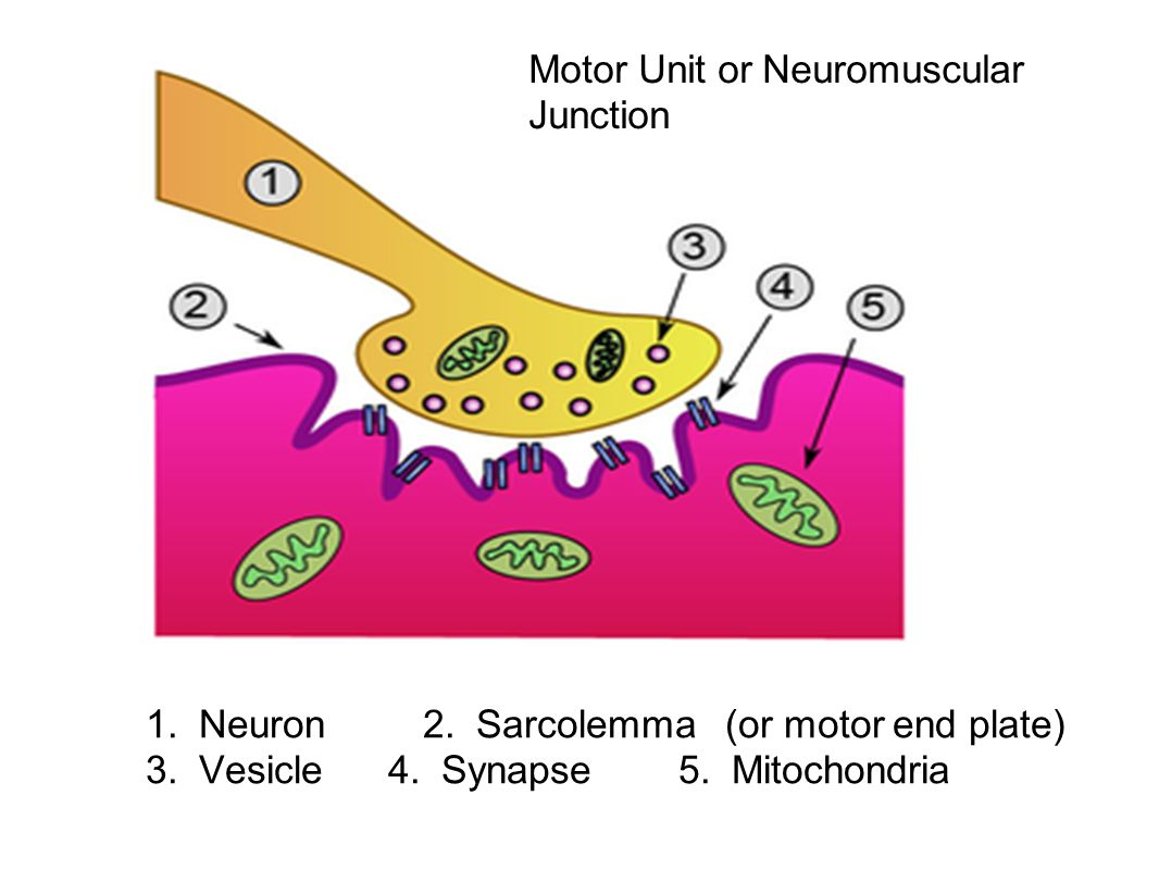 Motor Unit or Neuromuscular Junction