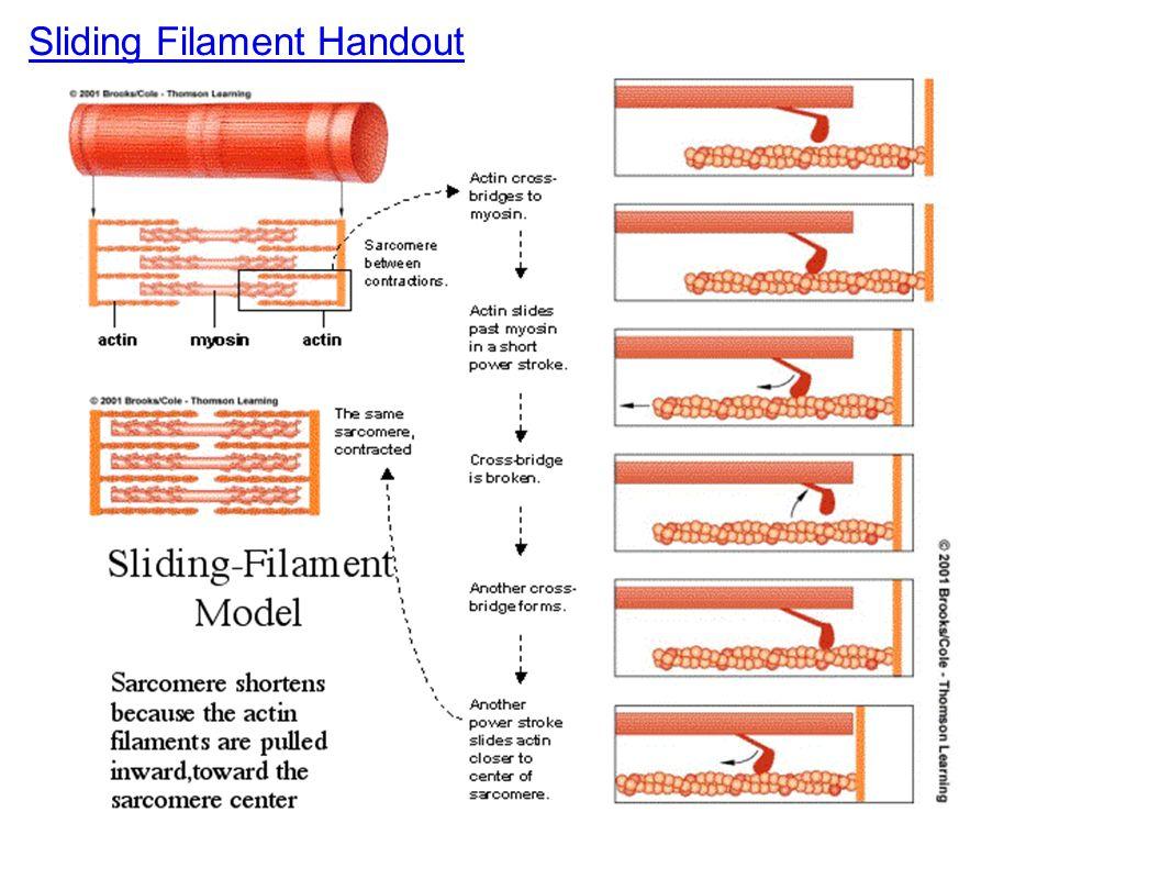 Sliding Filament Handout