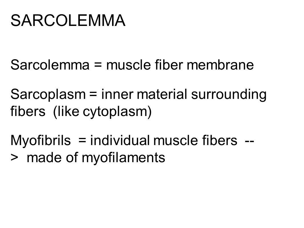 SARCOLEMMA Sarcolemma = muscle fiber membrane