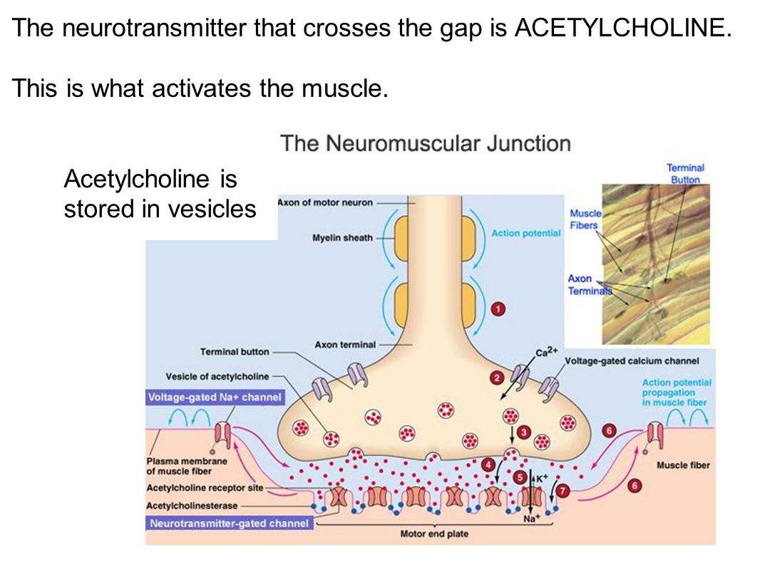 The neurotransmitter that crosses the gap is ACETYLCHOLINE.