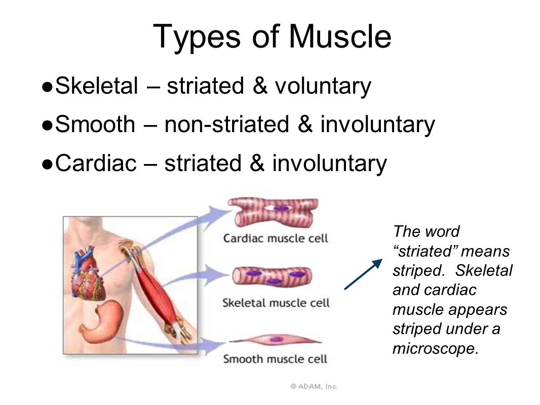 Muscular System adapted from - ppt video online download