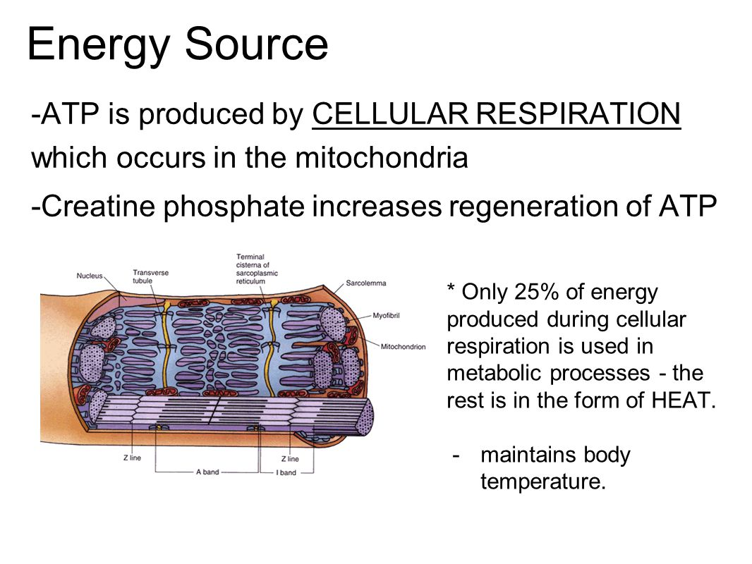 Energy Source -ATP is produced by CELLULAR RESPIRATION