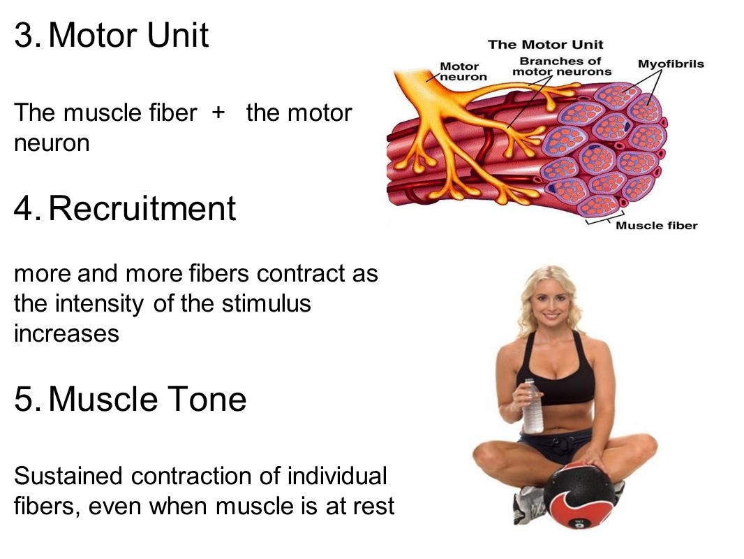 Motor Unit Recruitment Muscle Tone The muscle fiber + the motor neuron