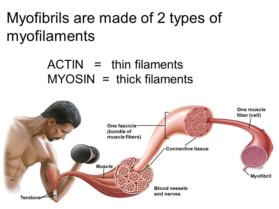Myofibrils are made of 2 types of myofilaments