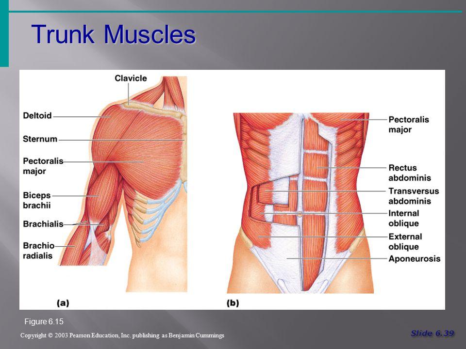 Trunk Muscles Figure 6.15 Slide 6.39