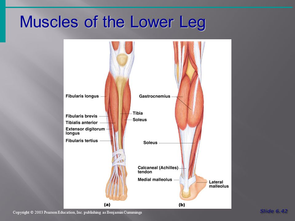 Muscles of the Lower Leg