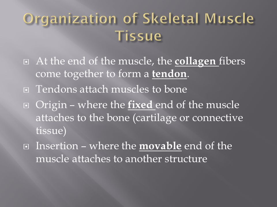 Organization of Skeletal Muscle Tissue