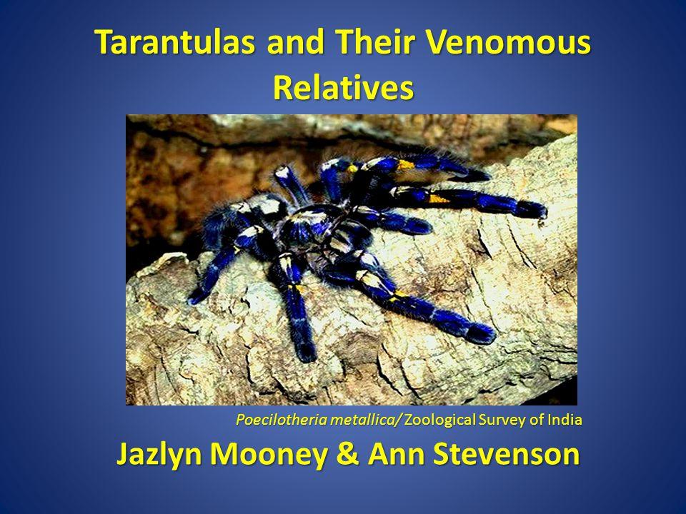Tarantulas and Their Venomous Relatives