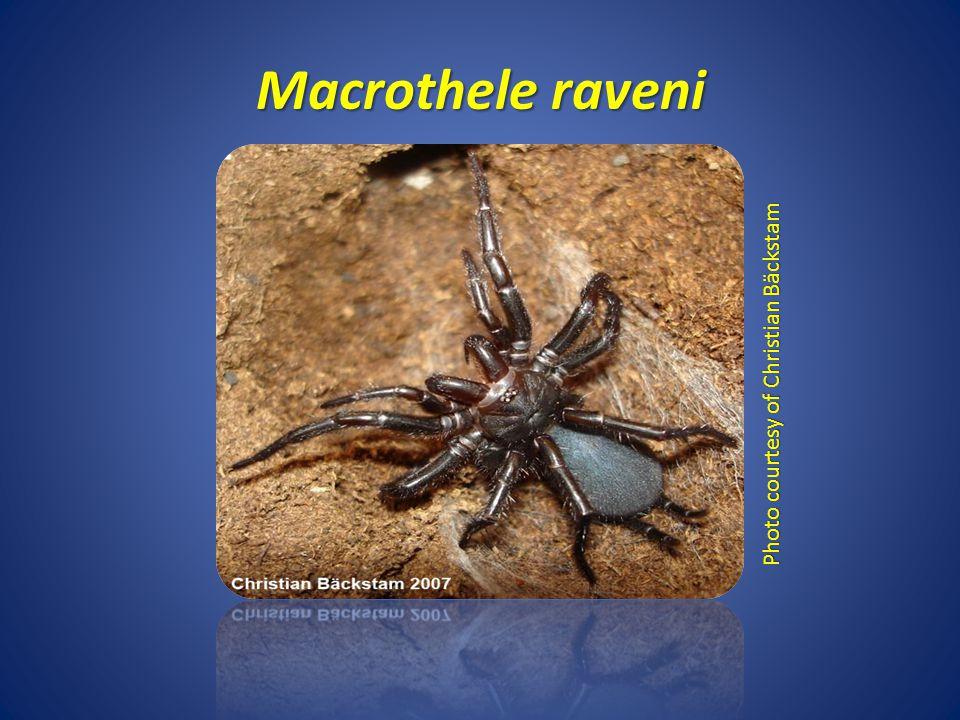 Macrothele raveni Photo courtesy of Christian Bäckstam