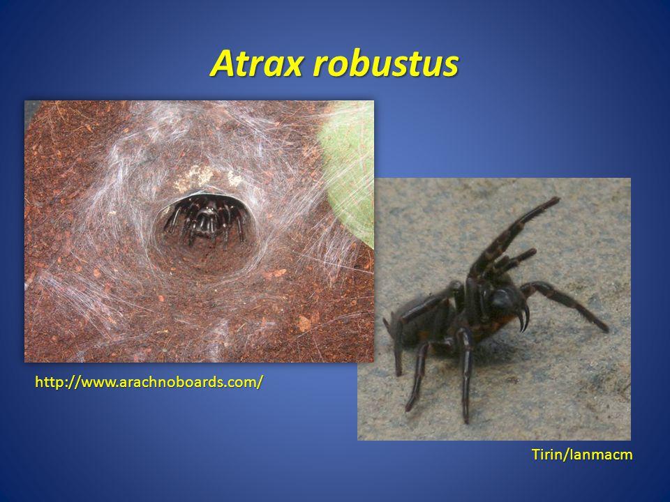 Atrax robustus http://www.arachnoboards.com/ Tirin/Ianmacm