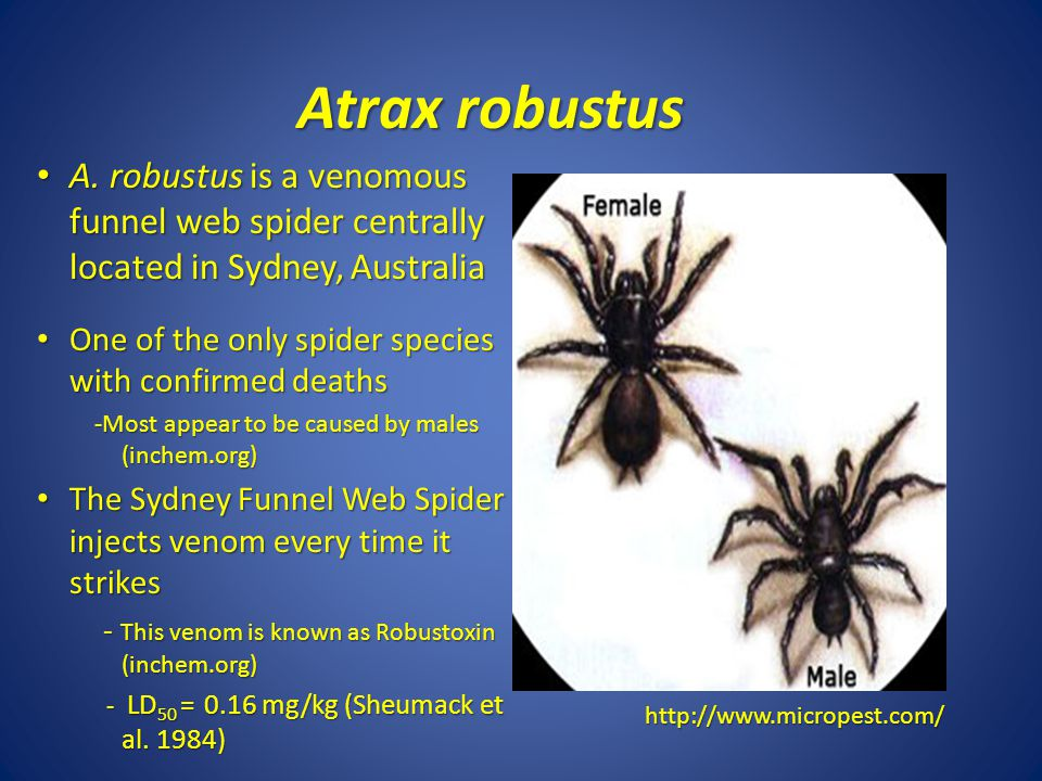 Atrax robustus A. robustus is a venomous funnel web spider centrally located in Sydney, Australia.