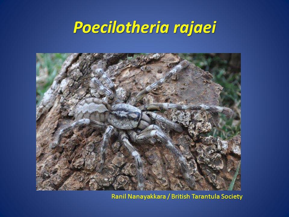 Poecilotheria rajaei Ranil Nanayakkara / British Tarantula Society