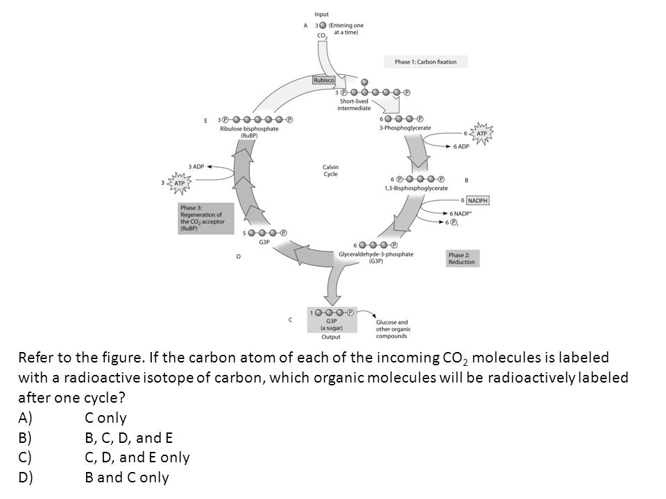 Refer to the figure. If the carbon atom of each of the incoming CO2 molecules is labeled with a radioactive isotope of carbon, which organic molecules will be radioactively labeled after one cycle