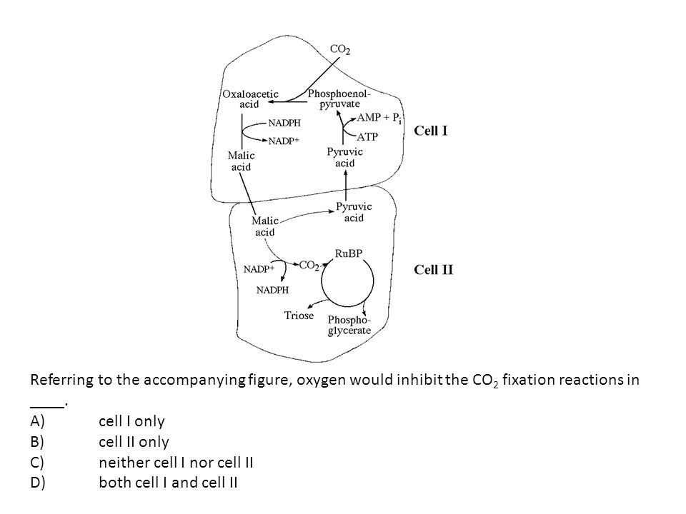 Referring to the accompanying figure, oxygen would inhibit the CO2 fixation reactions in ____.
